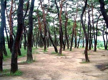 안동하회마을만송정숲