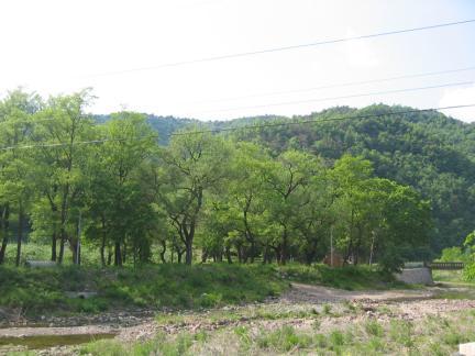 영양 주사골의 시무나무와 비술나무 숲