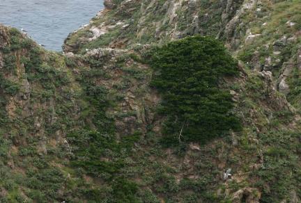 독도 사철나무