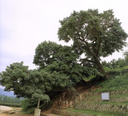 신방리의음나무군