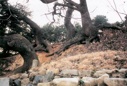 신방리의음나무줄기
