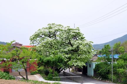 김해 신천리 이팝나무