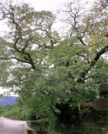 김해신천리의이팝나무