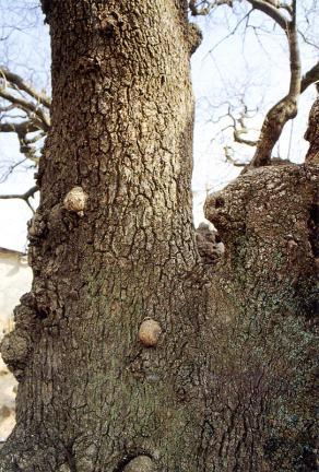 김해신천리의이팝나무줄기