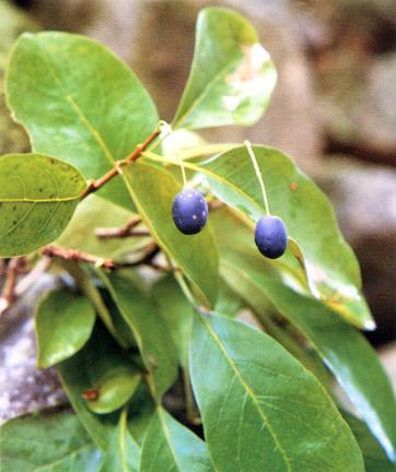김해신천리의이팝나무잎과열매