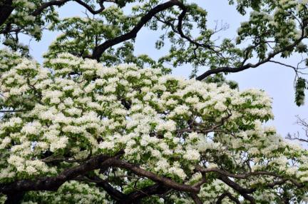 양산 신전리 이팝나무