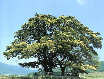 양산신전리의이팝나무
