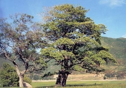 양산신전리의이팝나무(하절기)