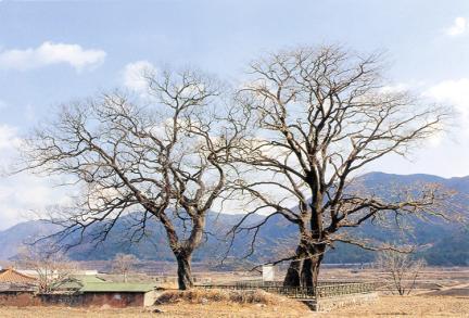 양산신전리의이팝나무(동절기)