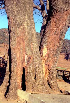 양산신전리의이팝나무줄기