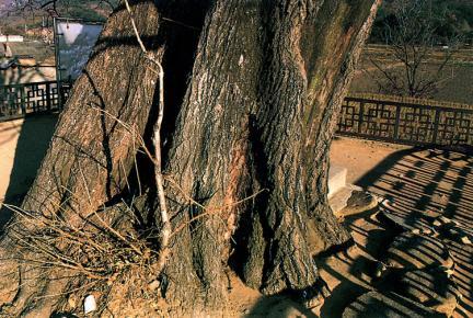 양산신전리의이팝나무근부