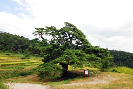 합천 화양리 소나무