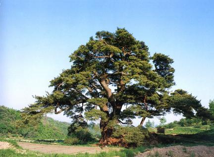 합천묘산면의소나무