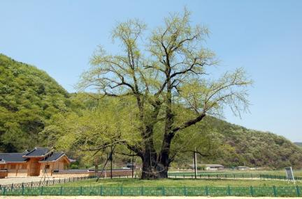 의령 세간리 은행나무