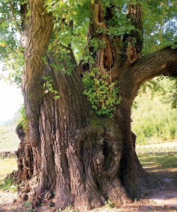 의령유곡면의은행나무근부