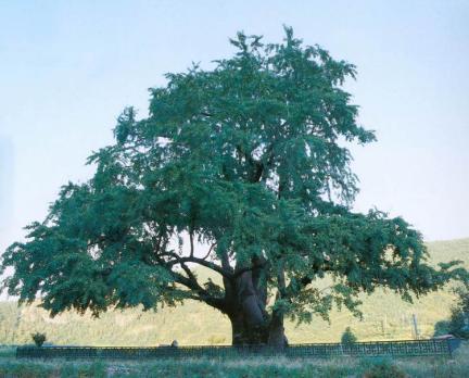 의령유곡면의은행나무