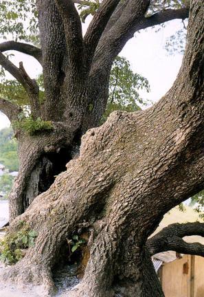 김해주촌면의이팝나무줄기