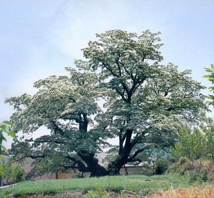 김해주촌면의이팝나무