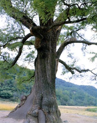 함안칠북면의회화나무