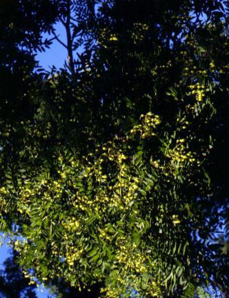 회화나무잎과열매