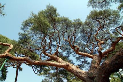 의령 성황리 소나무