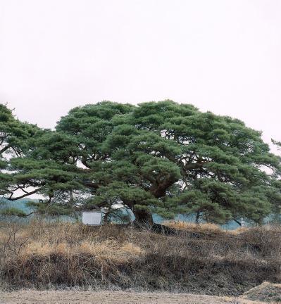 의령성황리의소나무