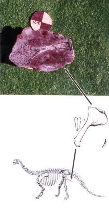 제2지점에서발견된어린용각류공룡의좌골화석