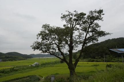 의령 백곡리 감나무