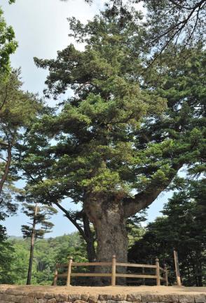 합천 해인사 학사대 전나무