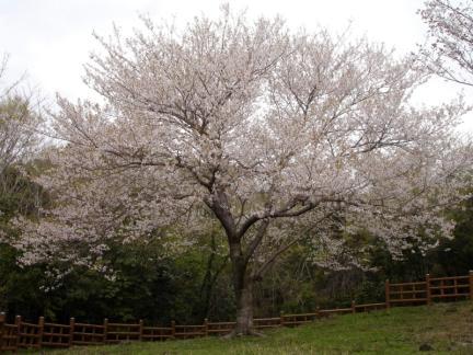 제주 신례리 왕벚나무 자생지