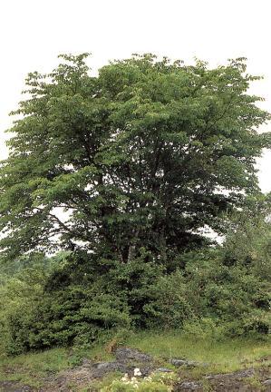신예리의왕벚나무