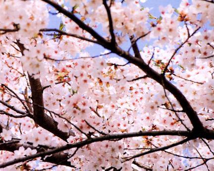 신예리의왕벚나무꽃