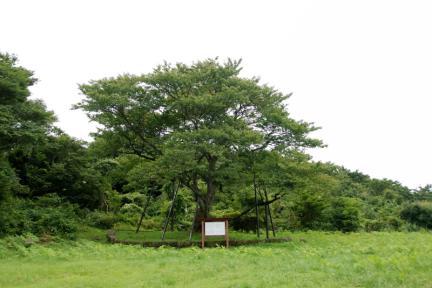제주 봉개동 왕벚나무 자생지