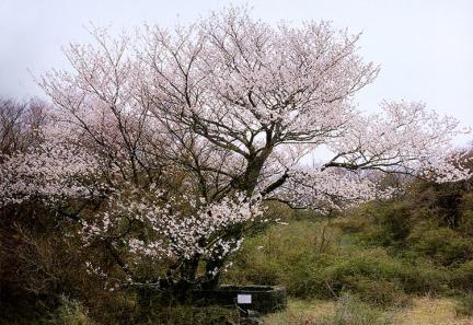 봉개동의왕벚나무자생지