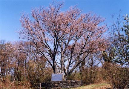 봉개동의왕벚나무