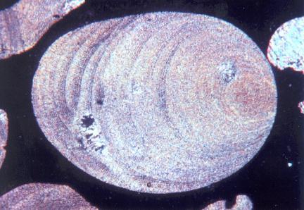 홍조단괴(현미경)