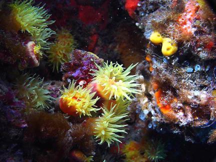 금빛나팔돌산호