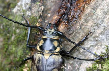 2006년 8월 국립수목원에서 발견된 암컷 장수하늘소(국립수목원 제공/사용시 국립수목원 승인을 득하여야 함)
