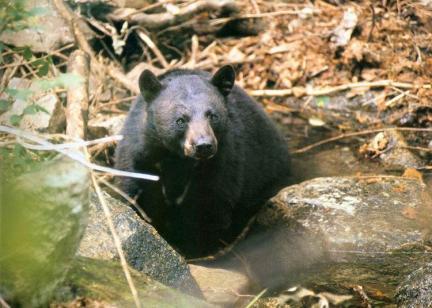 반달가슴곰(설악산)