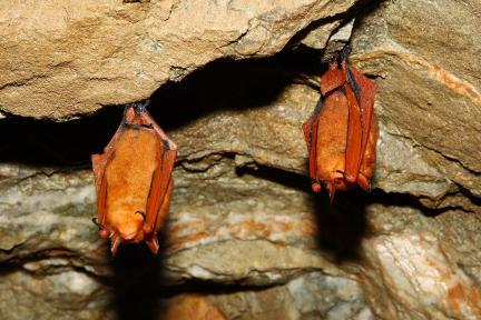 동면중인 붉은박쥐