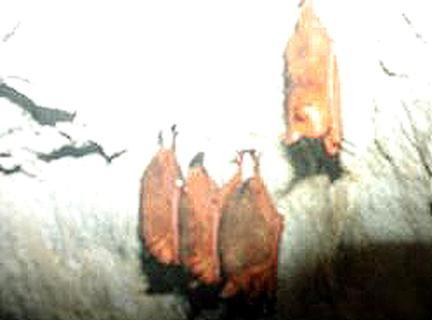 붉은박쥐(오렌지윗수염박쥐)