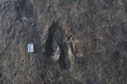 대형 수각류 발자국