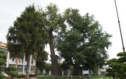 당진 면천 은행나무 전경1