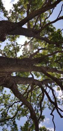 포천 초과리 오리나무(문화재청)
