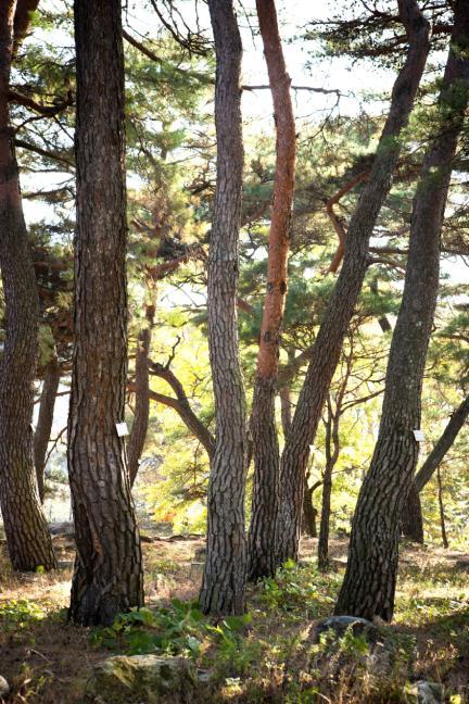덕동숲의 소나무(가을)