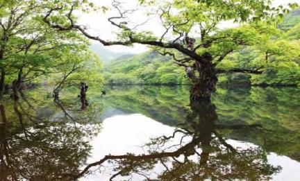 주산지 왕버들나무