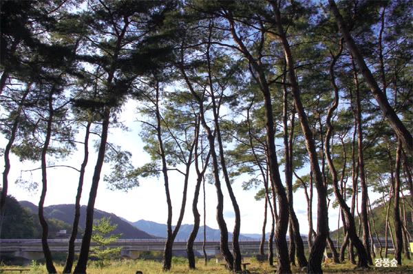 당산마을의 소나무들