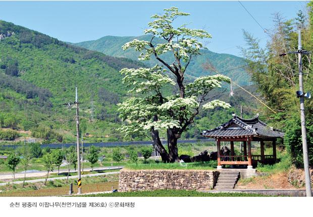 우리나라의 천연기념물 - 이팝나무