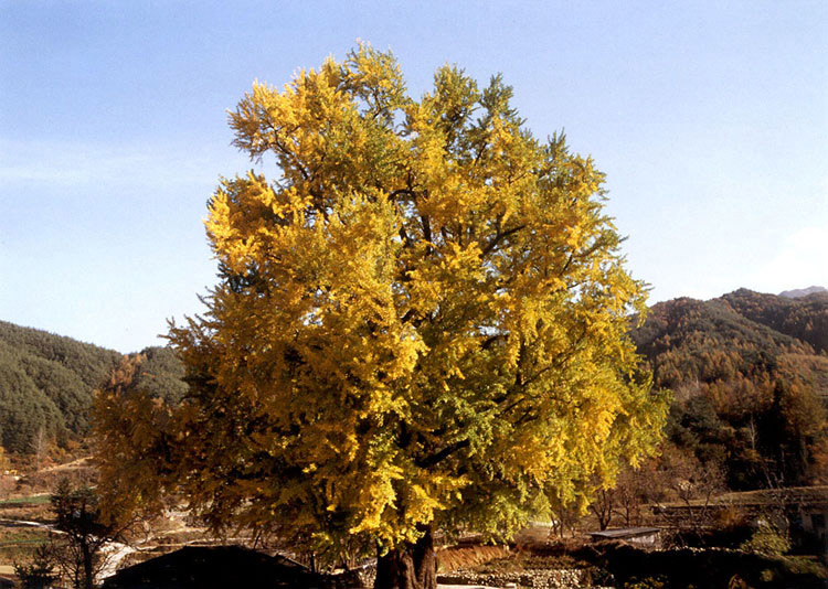 The general view of Gingko tree
